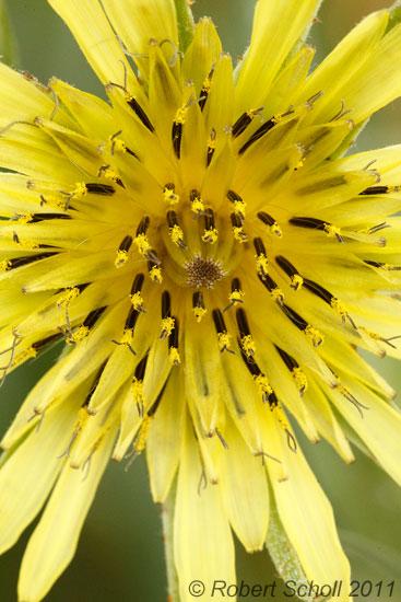 Yellow Goat S Beard Wildflower Close Up