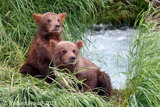 Baby brown bear - photo#9