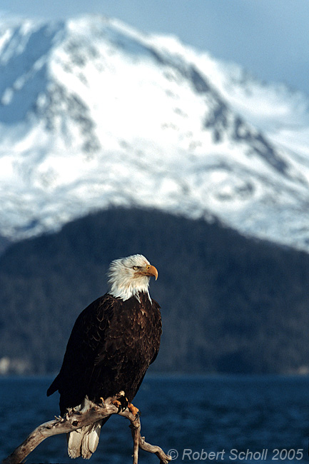 Scenic Bald Eagle And Mountain