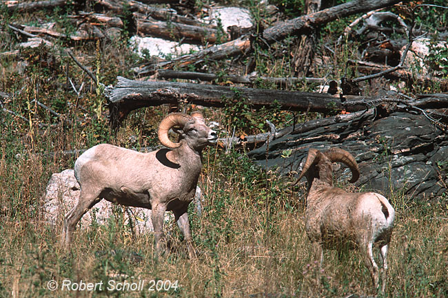 Bighorn Sheep Fighting. Bighorn Sheep Rams Fighting 2