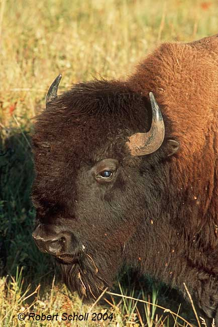 Buffalo Bison Portrait