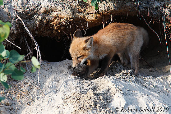 Baby Fox Kit Digging