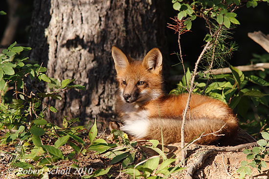 Red Fox Laying In The Woods