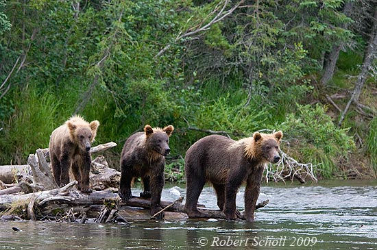 Yearling Grizzly Bear Cubs