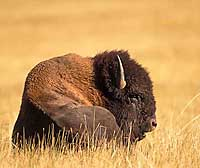 Bison Buffalo Note Card