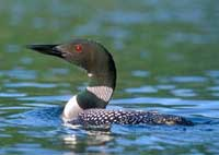 Common Loon Note Card 2