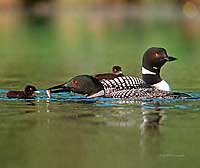 Common Loon Note Card 3