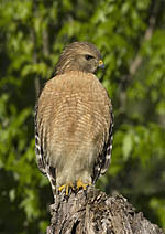 Red-shouldered Hawk Note Card