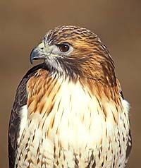 Red Tailed Hawk Note Card