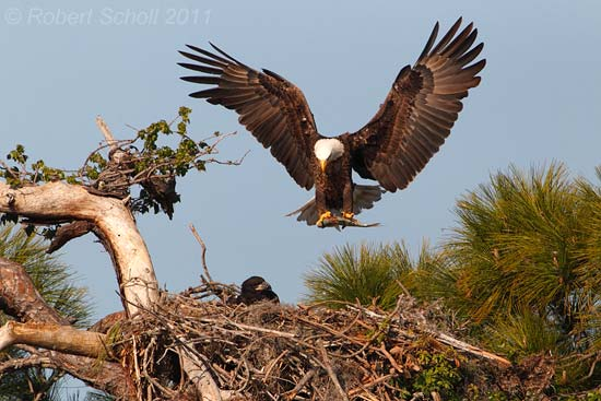 Bald Eagle Landing at Nest with a Fish