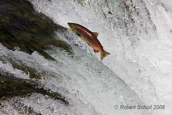 Sockeye Salmon Jumping Brooks Falls