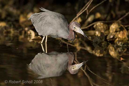 Wading Birds - Little Blue Heron Fishing