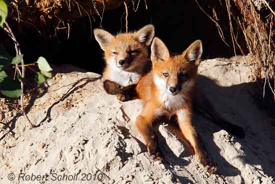 Red Fox Kits at Den