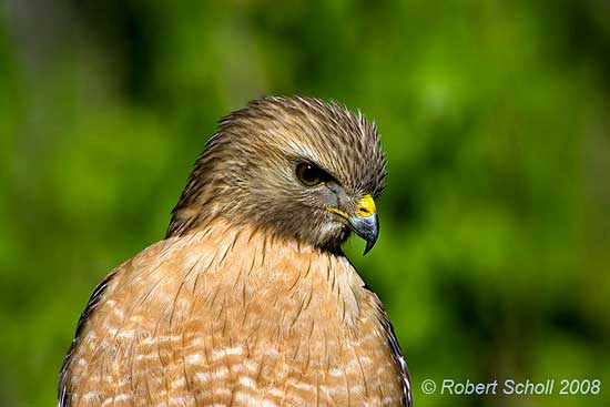 Bird Photography - Red Shouldered Hawk