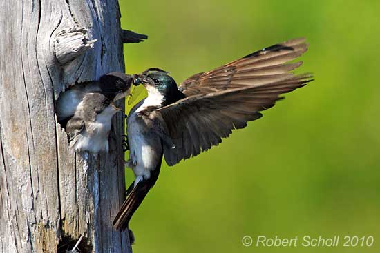 Tree Swallow feeding young - Bird Pictures