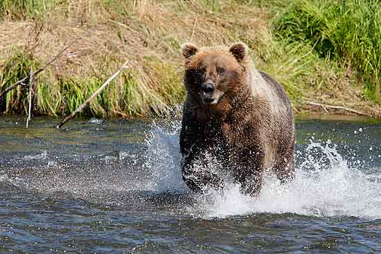 Wildlife Photography - Alaskan Brown Bear Charging